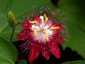 femikaps-passiflora